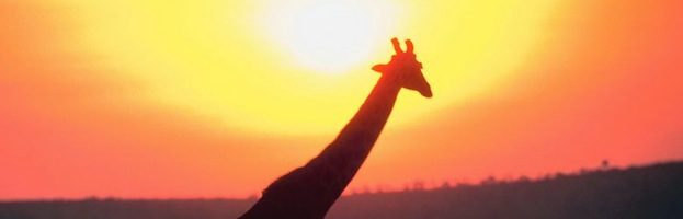 Giraffes and Humans