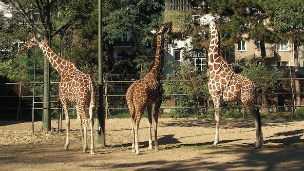 Preservación de las jirafas.