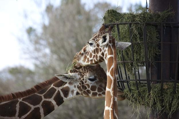Jirafas en zoológicos.