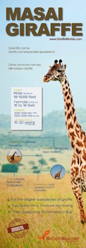 Masai giraffe infographic.