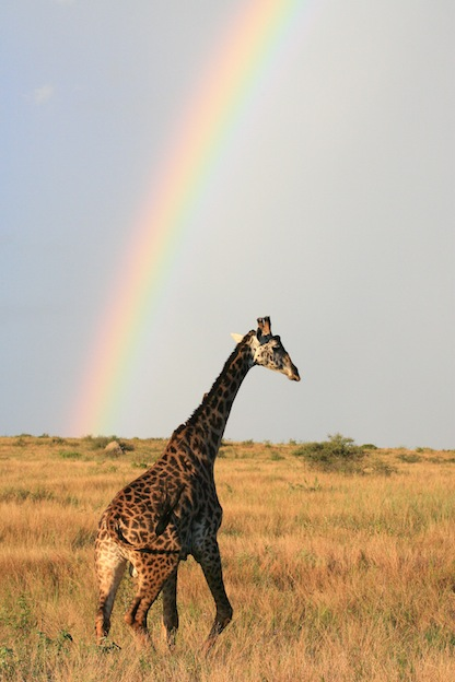 Facts about Maasai Giraffe or Kilimanjaro Giraffe