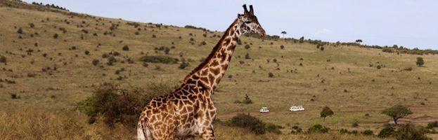 Jirafa Masai
