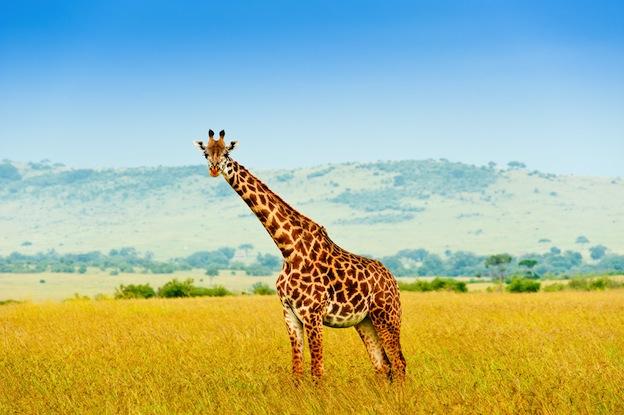 Características de la jirafa Masai