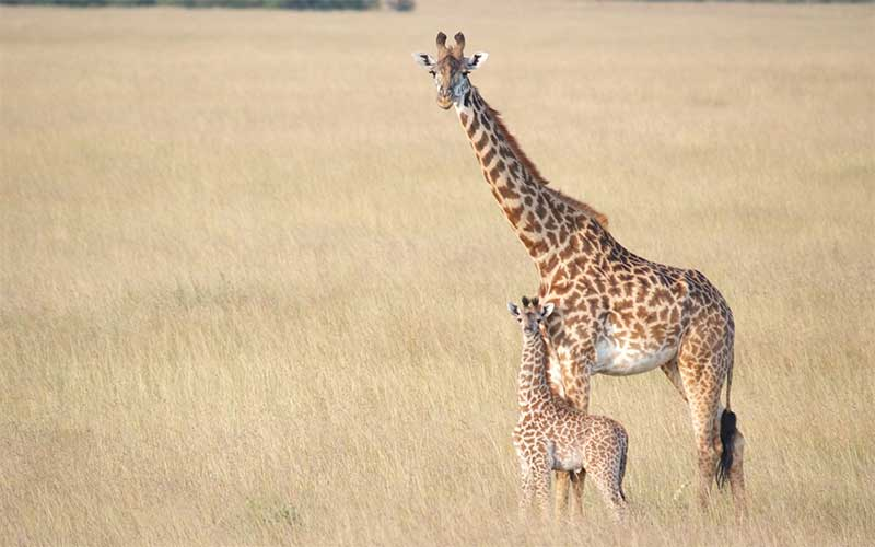 Giraffe Breeding and Reproduction.