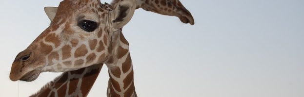 Why Do Giraffes Have Such a Long Neck?