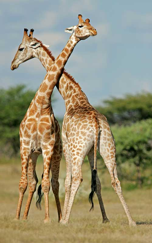 Social organization of giraffes.