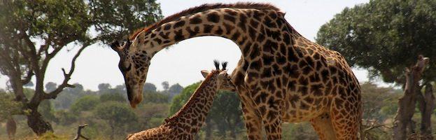 Giraffe Reproduction