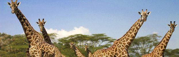 Giraffe Social Structure