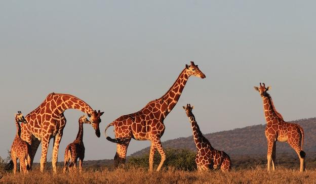 Comunicación de las jirafas.
