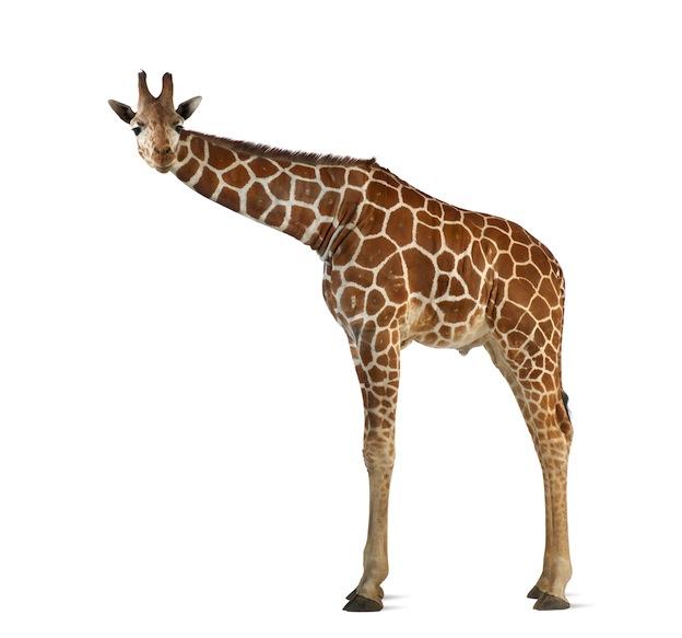Información sobre la jirafa reticulada.