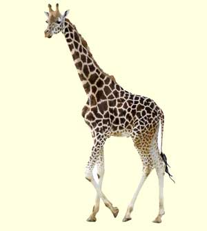 top giraffe facts