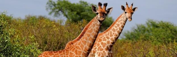 Giraffe Videos